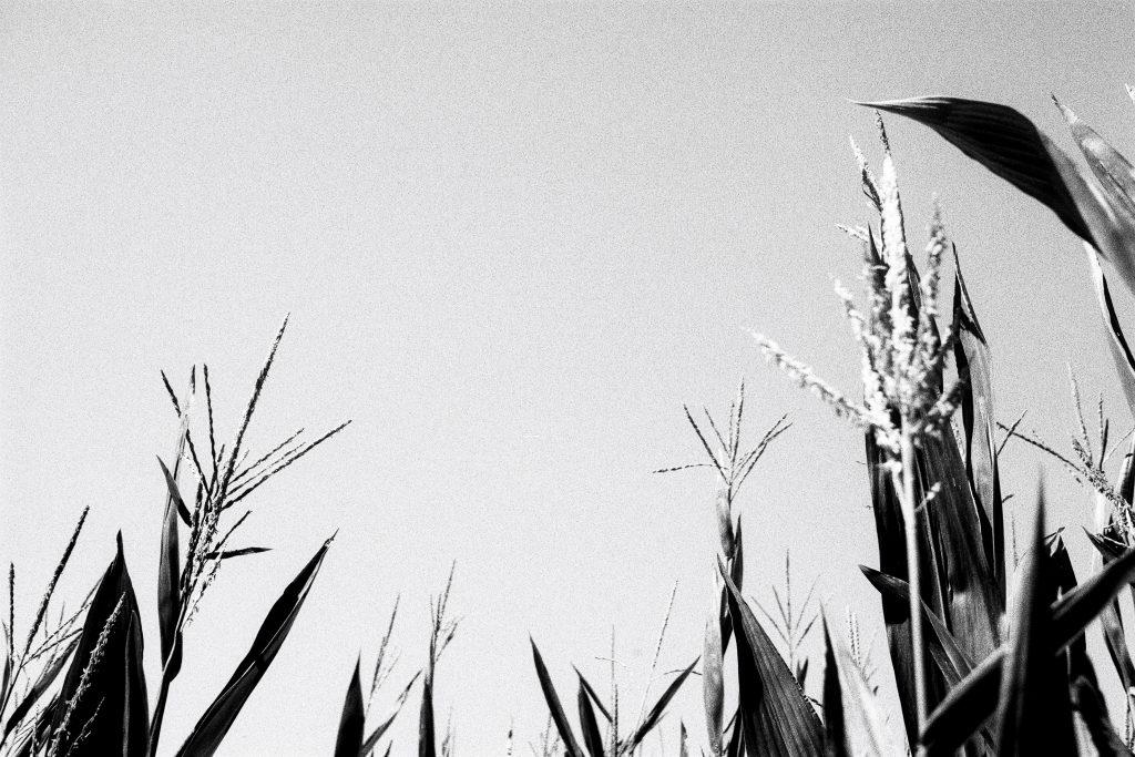 corn tips