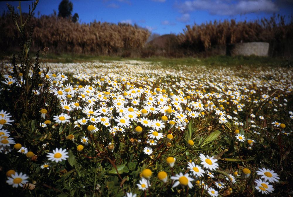 algarveflowers2