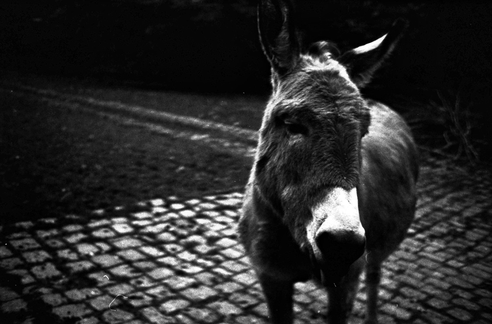 the donkeys at olderdissen